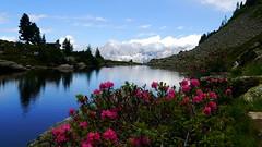 Almrauschblüte am Spiegelsee / Alpine rose blossoms at alpine lake Spiegelsee (rudi_valtiner) Tags: spiegelsee mittersee reiteralm see lake schladmingertauern niederetauern dachstein preunegg schladming steiermark styria alpen alps almrausch alpenrose alpinerose rhododendronferruguineum blumen flowers bergblumen mountainflowers blüten blossoms alpenblumen alpineflowers rosa pink wasser water wolken clouds frühling spring springtime wanderung20170630 österreich austria autriche zirbe swisspine arollapine
