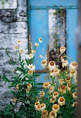 lo surreal de lo real (flotan te) Tags: 35mm 35mmfilm 200iso filmcolour durazno uruguay margarita anologue filmcamara flower filmisnotdead surreal theanaloguecrew film analoguevibes onfilm