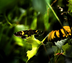 Pumping Magic (Portraying Life, LLC) Tags: dbg6 da3004 hd14tc k1 michigan pentax unitedstates butterfly closecrop handheld nativelighting skipper meadow sunlight morning