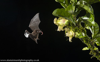 Pallas' Long-Tongued Bat