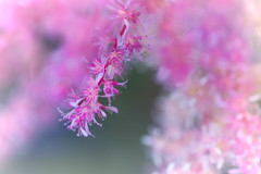 In My Rosy Bubble (Colormaniac too - Many thanks for your visits!) Tags: astilbe flowers macro closeup outside colorful dreamy pacificnorthwest olympicpeninsula washingtonstate garden perennial pink rosy topaztextureeffects