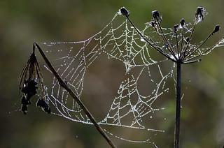 Orbweb on umbellifer after rain