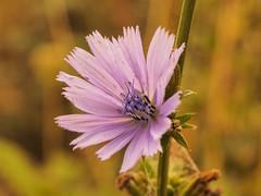Chicory (piranhabros) Tags: plant oregon eugene deltaponds macrophotography macro flower chicory