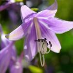 Flowering hosta in backyard garden in Robbinsdale, MN thumbnail