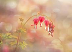 Dreaming hearts. (BirgittaSjostedt) Tags: flower summer nature bokeh dream dreamy soft softly texture paint birgittasjostedt bright macro ie