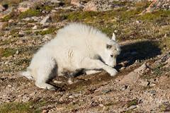 Mountain Goat kid digs itself a spot for a nap
