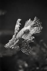 (tmkbnn) Tags: prakticabx20 slr singlelensreflex smallformat 35mm 135 film filmphotography kodak400tx bw blackandwhite berlin aquariumberlin pteroisvolitans lionfish tomek tmkbnn