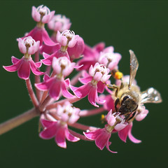 Visiting The Little Dancers (AnyMotion) Tags: swampmilkweed sumpfseidenpflanze asclepiasincarnata bee biene insect insekt blossom blüte bokeh 2017 floral flowers botanischergarten frankfurt plants pflanzen anymotion colours colors farben pink rosa white weis 7d2 canoneos7dmarkii summer sommer été verano zomer estate square 1600x1600 ngc npc