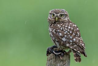 Little Owl - Nature Photography Hides