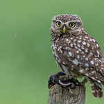 Little Owl - Nature Photography Hides thumbnail