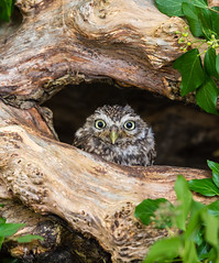 Little Owl (Lesley Danford) Tags: little owl nature wildlife