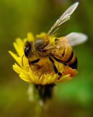 Bee❤️ (Paulo Mattes) Tags: bees bealtiful bee abelhas ab abelha flowers flower flor flickr flores natgeo naturelovers natureza nature galaxys7edge mobile goodmorning good bonita yellon