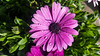 Purple African Daisy (Shannon M Blake) Tags: africandaisy daisy purple garden gardening botanical summergarden flowers flowerswithwaterdrops flowersinthegarden