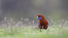 Crimson Rosella (Jims Wildlife) Tags: platycercuselegans crimsonrosella animal nature wildlife bird australia victoria melbourne grass seed