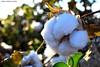 Algodón (nadiaaguirresesma) Tags: algodón