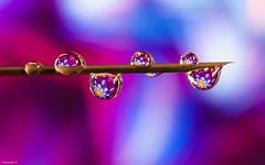 Needle - 3736 (YᗩSᗰIᘉᗴ HᗴᘉS +8 000 000 thx❀) Tags: needle drop droplet water macro color couleur colour hensyasmine
