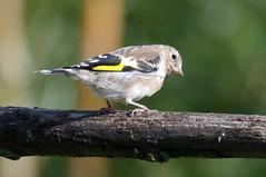 IMGP4113a Goldfinch (juvenile), Welney Washes, September 2017 (bobchappell55) Tags: welneywashes wwt nature wild wildlife goldfinch bird