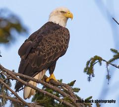 Bald Eagle Canon 5DS R 800mm (Mike Black photography) Tags: bald eagle bird nature photo photography nj new jersey shore canon 5dsr 600mm 800mm usm l is lens body shark river sky black white
