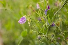 Rainy Sweet Pea bokeh (frattonparker) Tags: btonner bokeh depthoffield flowersplants isleofwight lightroom6 nikond810 raw frattonparker