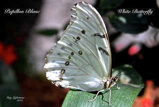 WHITE BUTTERFLY CLOSE-UP !