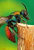 Avispa cuco (JAVIOT) Tags: schneider kreuznach componons 50mm f28 stack canon450d avispa cuco insecto apilado macro photography