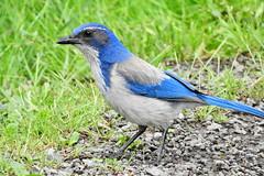 California Scrub-Jay 6-13-17 Steigerwald National Wildlife Refuge (Explored) (Noble Bunny) Tags: california scrub blue western jay corvid bird pacific northwest washington oregon
