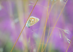 blue amidst the heather (Emma Varley) Tags: butterfly commonblue heath grasses heather heathland sullingtonwarren westsussex nature beauty vibrant colour purple vivid