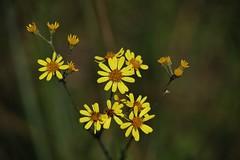 Wild Flower (Hugo von Schreck) Tags: hugovonschreck wildflower wildblume flower blume blüte macro makro canoneos5dsr onlythebestofnature tamron28300mmf3563divcpzda010