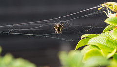 Little spider man... (Photostreamkatwijk) Tags: groothoeklens spider web spinsel insects whether outdoorphotography spin spinnenweb buitenfotografie dieren draad