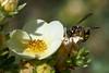 Potter wasp caterpillar hunting #3 (Lord V) Tags: macro bug insect wasp potterwasp