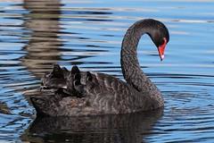 Black Swan  (Cygnus atratus) (johnedmond) Tags: perth westernaustralia herdsmanlake blackswan bird nature wildlife sel55210 55210mm ilce3500 sony