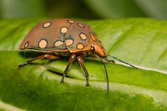 Pachycoris torridus (Wilmer Quiceno) Tags: insecto macro insect bicho bug hoteltinamu manizales eos70d pachycoristorridus scutelleridae