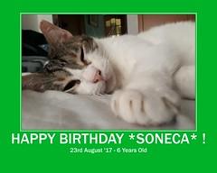 Soneca is a baby today !!! =^.^= (Silvia Inacio) Tags: soneca gato gatos cats birthday fdsflickrtoys