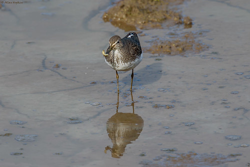 Green Sandpiper (Tringa ochropus) enjoying some grub