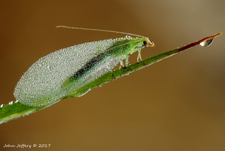 A Green Lacewing - Chrysoperla carnea (Chrysopidae)