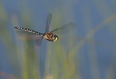 Dragonfly (Eric_Z) Tags: dragonfly manningpark britishcolumbia canada canoneos7dmkii ef100400mmf4556lisiiusm dragonflyinflight flight explored