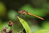 Common Darter (F) (Hugobian) Tags: odonata dragonfly dragonflies insect nature animal wildlife fauna paxton pits reserve pentax j1 common darter