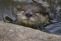 (_jypictures) Tags: animalphotography animals animal canon7d canon canonphotography wildlife wildlifephotography wiltshire nature naturephotography photography pictures zoo zoophotography otter