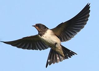 Barn Swallow Hunting