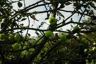 a apple tree