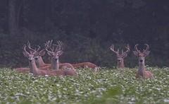 Six White Tail Bucks (a56jewell) Tags: a56jewell deer six aug summerdirtroad bucks