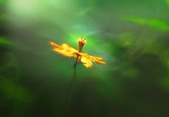Dancing under the light (Tomo M) Tags: cosmossulphureus flower nature plant light green orange trioplan100mmf28 summer hss キバナコスモス