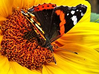 Schmetterling an der Nektar-Tankstelle