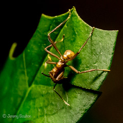 Leaf Cutter (JKmedia) Tags: boultonphotography 2017 leafcutterant ant insect macro leaf biology biological wonder eusocialinsects