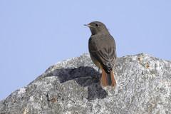 Black Redstart (Kentish Plumber) Tags: blackredstart nature uk phoenicurusochruros bird wildlife kent samphirehoe dover folkestone coast southernengland rock cliff chalk ll l