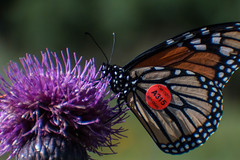 tagged (animalisterra) Tags: monarch canon 70d orange tagged thistle purple sonoita arizona macro garden insect butterfly flower outside outdoors nature