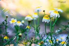 Color y 3 (raperol) Tags: bokeh flores flowers airelibre amarillo