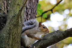 squirrel (stellagrimsdale) Tags: squirrel bokeh sideview tail eye branch tree bushy animal rodent park