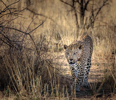 elegance and power (Steven-ch) Tags: africa eos5dmarkiv male felidae wildlife carnivora travel okonjimanaturereserve panthera pantherapardus nature namibia canon safari leopard animal otjozondjuparegion na