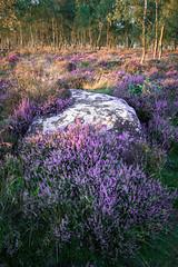 Gardoms Edge Heather (James G Photography) Tags: derbyshire gardomsedge heather peak peakdistrict peaks portrait portraitlandscape purple sunset trees woodland woods